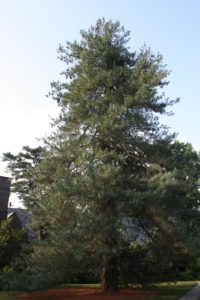 Pinus wallichiana, Himalayan Pine - this tree has a bluish cast to the needles and long cones, up to 10 inches long and 2 inches wide!