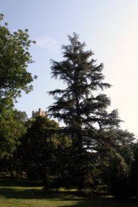 A true cedar in the arboretum