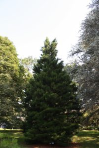 A nice specimen with a double leader of Japanese Umbrella Pine, Sciadopitys verticillata