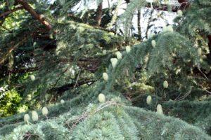Cedrus deodara, the Deodar Cedar, a true cedar with its honeycomb-like cones that stand upright.  We mistakenly call our Eastern Red Cedar a cedar when in fact it is a Juniper, Juniperus virginiana.