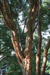 Look at the exfoliating bark - this looks ornamental and beautiful year round.