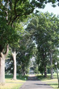 The Scott Arboretum has been replacing dead trees with new Swamp White Oaks, Quercus bicolor.