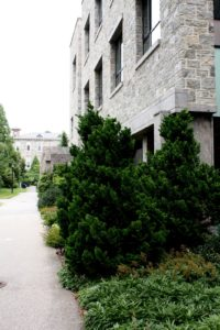 A more modern building on campus with a pair of  Hinoki Cypress