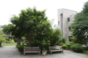 A courtyard with younger woody plants including Japanese Katsura
