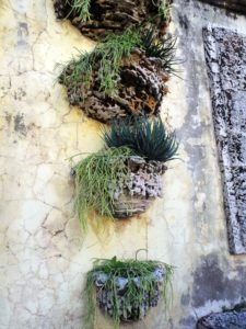 The wall pots of the Secret Garden were created to hold plants from Vizcaya's orchid collection, which proved unsuitable.  Today they hold succulents, which thrive in the bright sunlight and salt air, such as these threadlike Rhipsalis baccifera, Aloe 'Blue Elf', and Aloe 'Grassy Lassie'.
