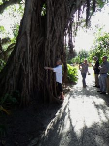 Vizcaya is surrounded by two endangered subtropical forests, and boasts 9 national champion trees, the largest of their kind in the United States.  While this giant Strangler Fig (Ficus aurea) is not a champ, it found an admirer!