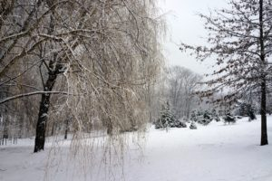 The pinetum planted behind the equipment barn looks wonderful dusted with snow.
