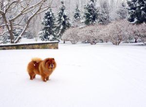 My Chow Chow, Ghenghis Khan, normally loves running in the snow.