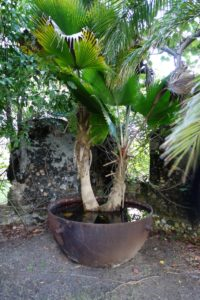 This giant cast iron pot was used to boil the cane liquid in the sugar-making process.  It's now being used as a planter.