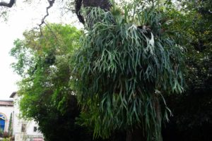 Staghorn ferns, like this massive one, abound throughout the estate.
