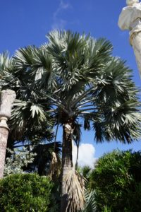 Shining brilliant silver in the sun, these Madagascar-native Bismarck Palms (Bismarckia nobilis) were planted in the 1980's and are among the largest in South Florida.