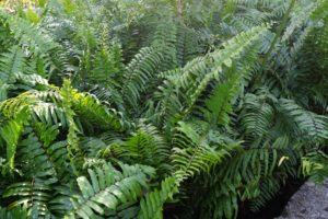 A Florida native and larger relative of the Boston Fern, Macho fern (Nephrolepis biserrata) is an exuberant and widely used groundcover at Vizcaya.
