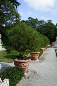 All these Australian Pine topiaries are trimmed by hand to retain their feathery appearance. Underneath the trees are Aloe 'Christmas Carol' and Aloe 'Pink Blush'.