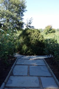 Farrand thought that the Rose Garden would be much seen in winter and added boxwood to act as accent plants to each of the rose beds.  This giant boxwood grows in the center of the garden.