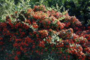 This is a pyracantha, a genus of thorny shrubs in the rose family.  It's also called firethorn because the thorns really hurt!