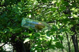 In France it is traditional to grow apples and pears inside glass bottles like this.  The pear bud is inserted into bottle and allowed to develop and ripen.  This pear has been growing naturally inside the bottle, suspended in the tree, and once cut free from the branch, the bottle will be filled with pear liqueur and made into what is called Poire Willem.