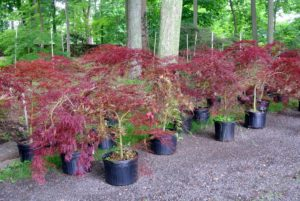 Japanese maples are native to areas of Japan, Korea, China and Russia. The leaves of these trees can be deep red to green to variegated.