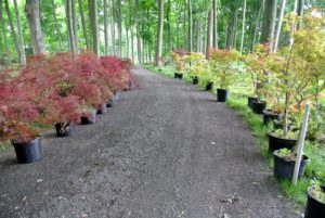 I am constantly adding to this maple grove. This group of 122 Japanese maples was added in 2015. The trees varied in size from three to six feet tall.