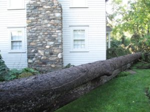 How lucky was I that this very tall white pine fell just inches from the tenant house?  The thud was terrifying.