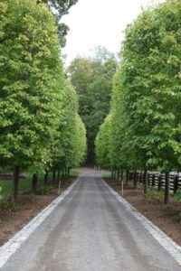 We will be planting 25,000 spring flowering bulbs beneath the allée of linden this autumn.