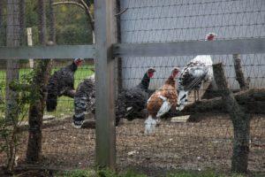 My heritage turkeys - Black Spanish, Bourbon Red, and Royal Palm