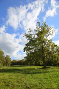 My iconic sycamore in another hay field