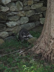 This raccoon was stunned.  It probably lost its home in a tree.
