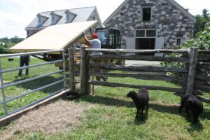 The sheep were curious as the Hi-Lo moved the floor of the shed into the field.