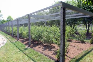 This is my new netted blueberry pergola.  I'll show you how it was constructed.