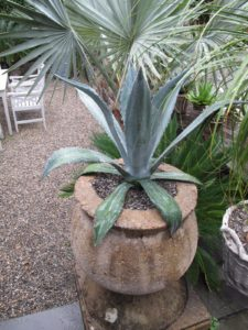 A spiky agave plant