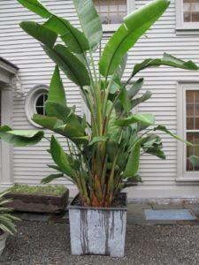 A stately banana tree