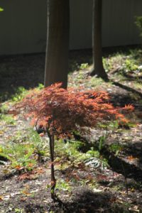 The Japanese maples are just beginning to turn vibrant colors.