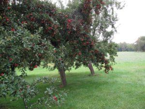 Still so many apples!