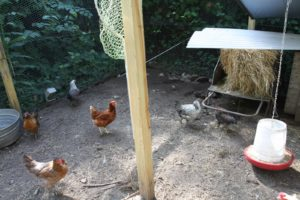 These happy chickens lay approximately one dozen eggs daily.