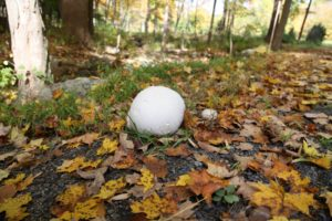 Puff balls are a sure sign of autumn and these appeared alongside the carriage road in the woods.