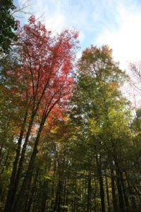 A brilliant red towering maple deep in the woods.