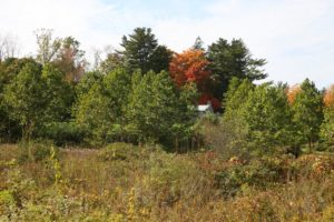 A view across the wetlands - that orange maple is the one next to the greenhouse.