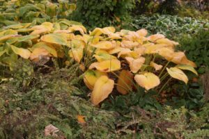 The hostas beneath that maple are quickly fading from green to yellow.