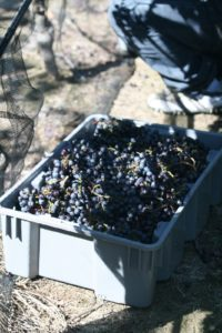 The grape clusters are placed in stacking bins and transported to the winery where the wine-making process begins.