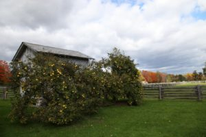 Two quince trees grow next to the corn crib.  The quince are just about ripe for picking.