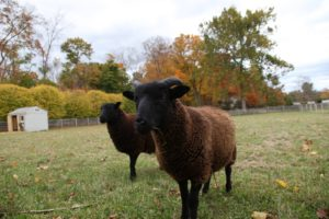 The adorable Black Welsh Sheep are also happy in a larger paddock.