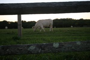 Healthy, grass fed Charolais beef will be available at McCall Ranch in late summer 2011.