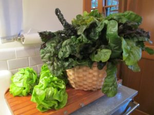 He also picked beautiful Swiss chard and buttercrunch lettuce in the garden.