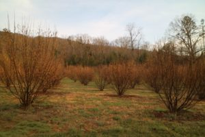 These are hazelnut trees used as host trees for growing truffles. These trees were inoculated with the fungus under controlled conditions. Truffles will eventually grow on their roots.