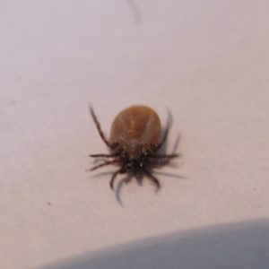 Ticks are among the most efficient carriers of disease because they attach firmly when sucking blood, feed slowly and may go unnoticed for a considerable time while feeding. Ticks take several days to complete feeding.