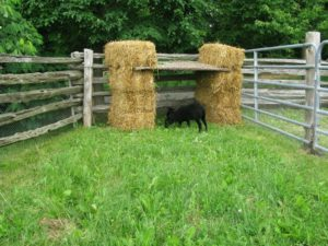 The sweet little Black Welsh Mountain Sheep in their temporary pen under their temporary shelter
