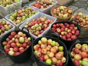 I've been telling you in my blog postings that we have an abundance of apples this year at the farm.  I've never seen anything like it!