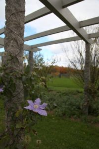 It's the end of October and there are still many clematis blooming along the long pergola.