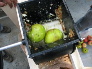 While someone turns the flywheel of the cider press, whole washed apples are fed into the grinder apparatus.