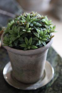 A miniature type of aloe